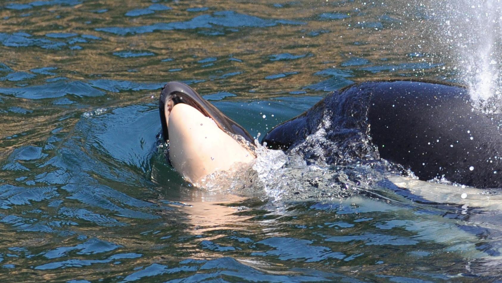 Orca-Wal Tahlequah schleppt ihr totes Junges.
