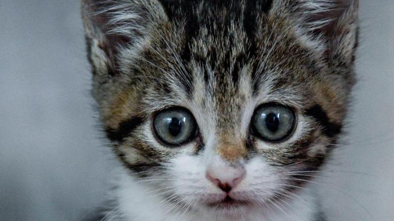 immer-wieder-werden-katzenwelpen-uber-das-internet-angeboten-doch-gerade-wenn-das-angebot-zu-gunstig-ist-sollten-kaufinteressenten-skeptisch-werden-symbolbild