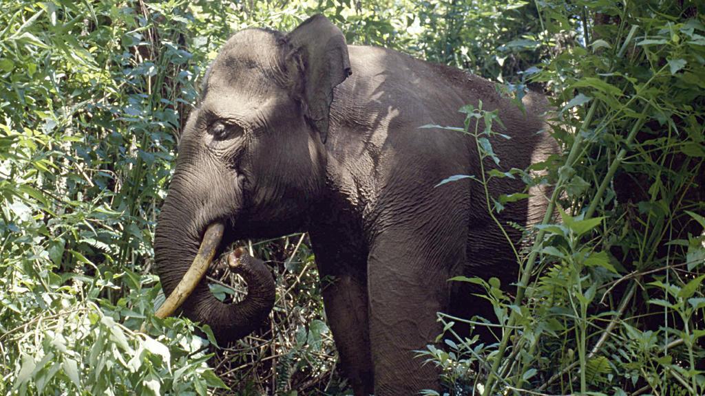 Sumatra-Elefant im Regenwald