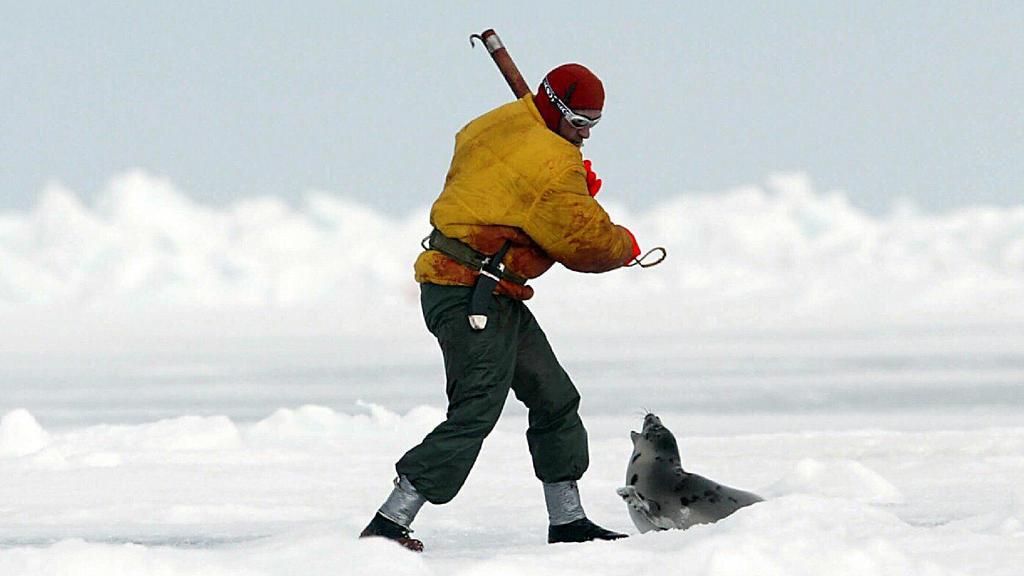 ARCHIV - Ein Robbenjäger holt im Packeis vor den Magdalenen-Inseln im St.-Lorenz-Golf im Nordosten Kanadas mit einem Knüppel aus, um eine erst wenige Wochen alte Sattelrobbe zu erschlagen (Archivbild von der Robbenjagd 2003). Begleitet von massiven P