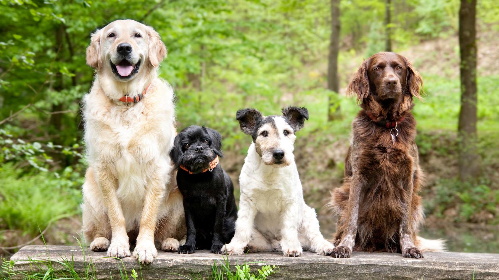 In unserem Test erfahren Sie, welche Hunderasse Sie Ihren Charaktereigenschaften nach am ehesten wären.