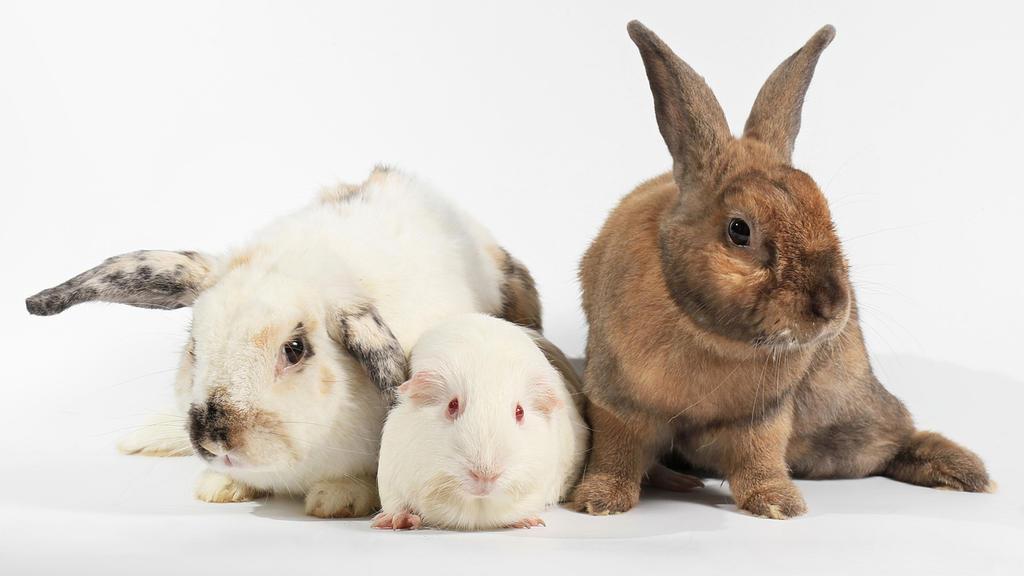 Vermeintliche Käfigtiere: Kaninchen, Meerschweinchen und Hamster.