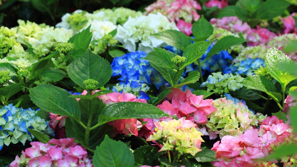 Hortensien als Balkonpflanzen