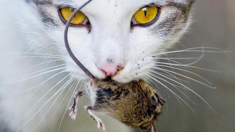 Eine Katze spielt mit einer kurz zuvor gefangenen Maus.