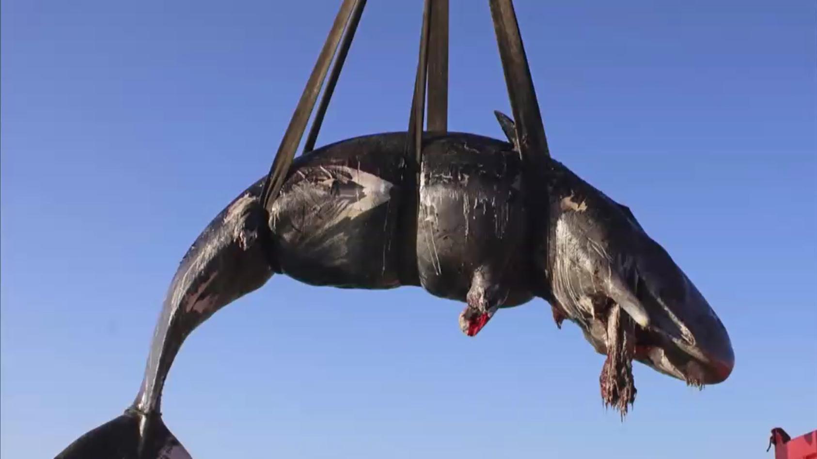 Schwangerer Wal gestrandet.