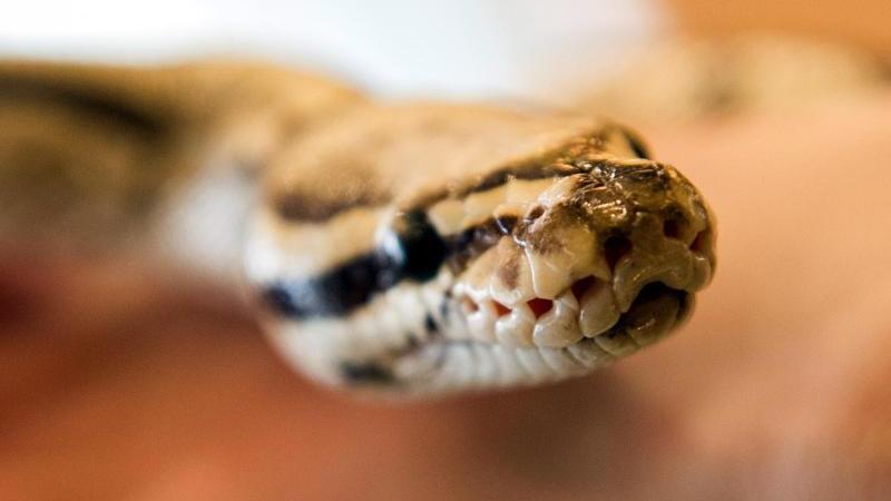 Eine Python-Schlange blickt in Richtung des Fotografen. Foto: Paul Zinken/Archivbild