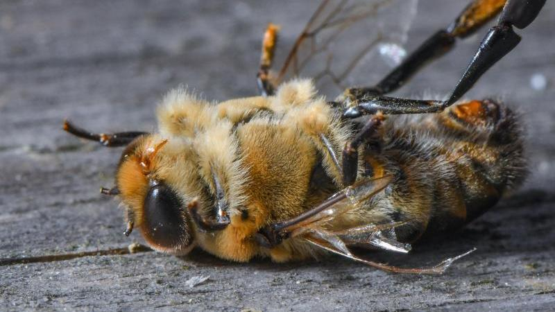 Eine tote Drohne liegt vor einem Bienenstock. Foto:Patrick Pleul/Archivbild