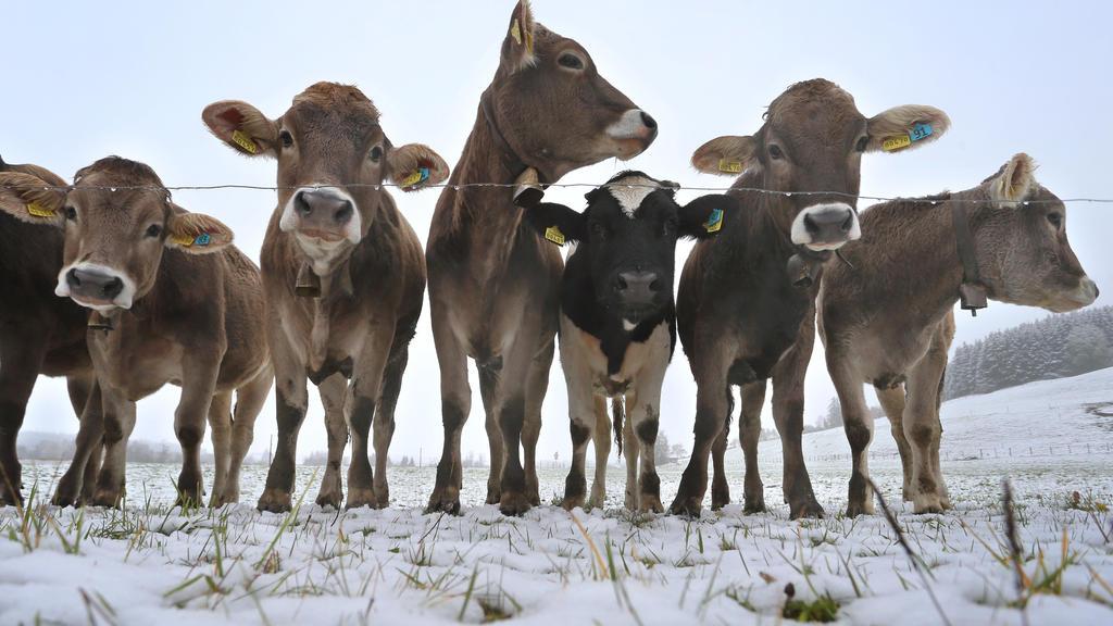 28.10.2018, Bayern, Unterthingau: Junge Kühe weiden auf einer schneebedeckten Wiese. Foto: Karl-Josef Hildenbrand/dpa +++ dpa-Bildfunk +++