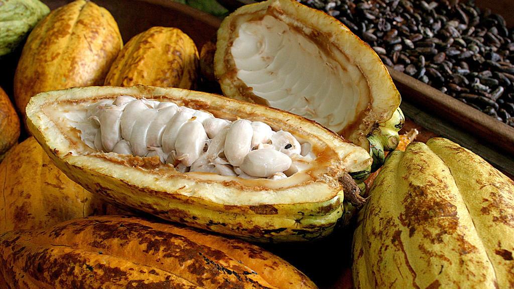 Frisch geerntete Kakaofrüchte
