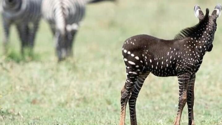 Gepunktetes Zebra bringt Safari-Guide zum Staunen.