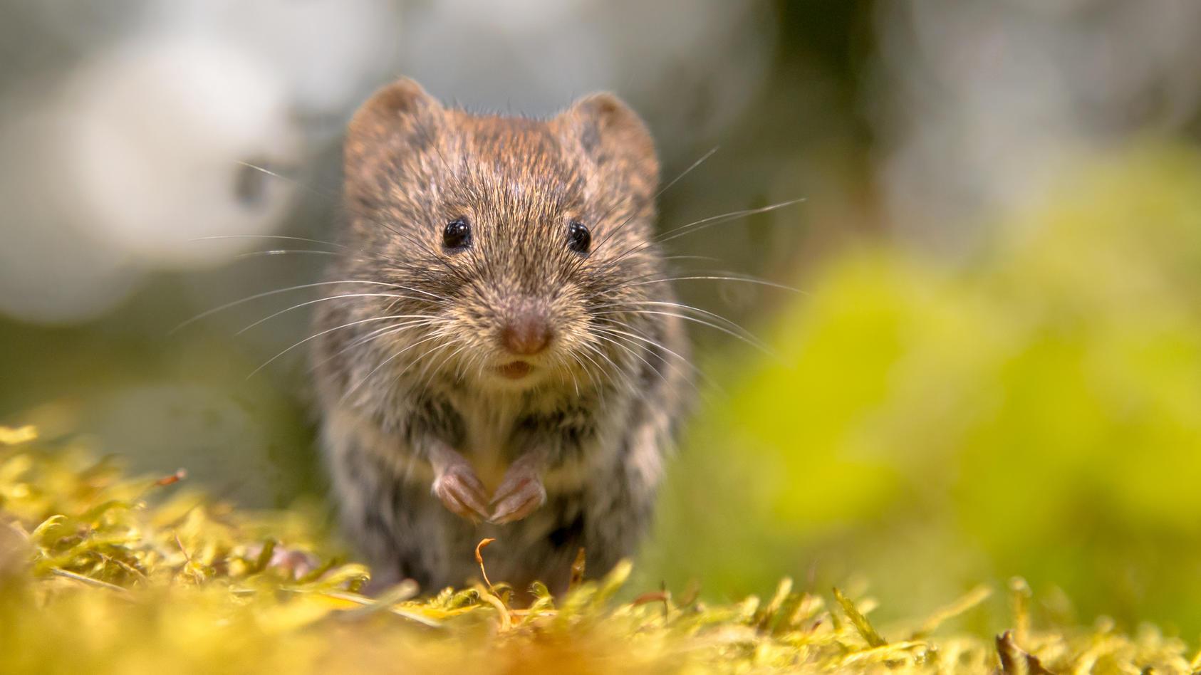 Hantaviren werden durch Rötelmäuse übertragen, genauer gesagt über den Kot, den Urin und den Speichel der Mäuse.
