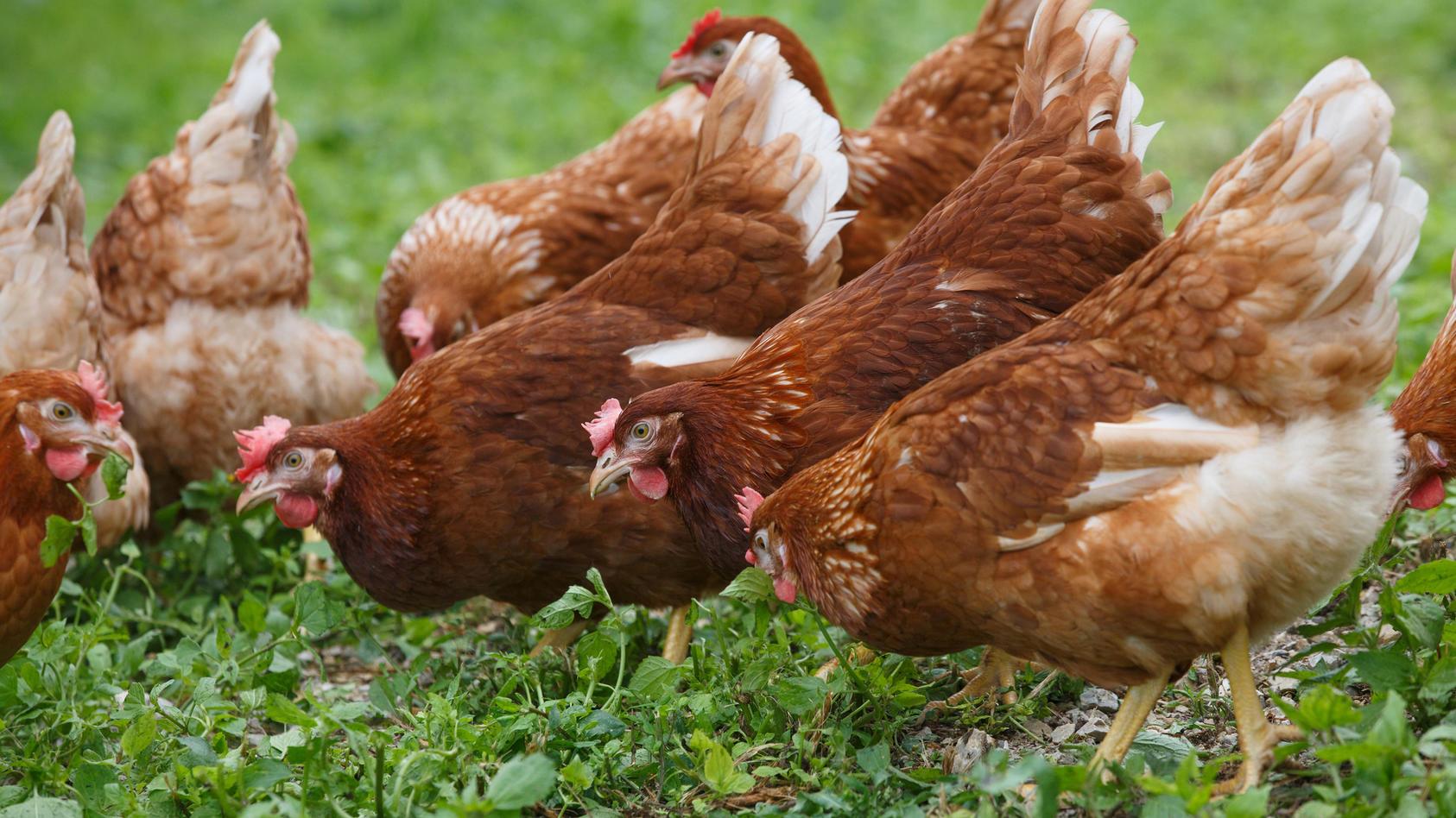 In der Bio-Haltung müssen die Hühner ständig freien Zugang zum Freigelände haben. Dabei müssen jeder Henne mindestens 4 Quadratmeter Auslauffläche zur Verfügung stehen.