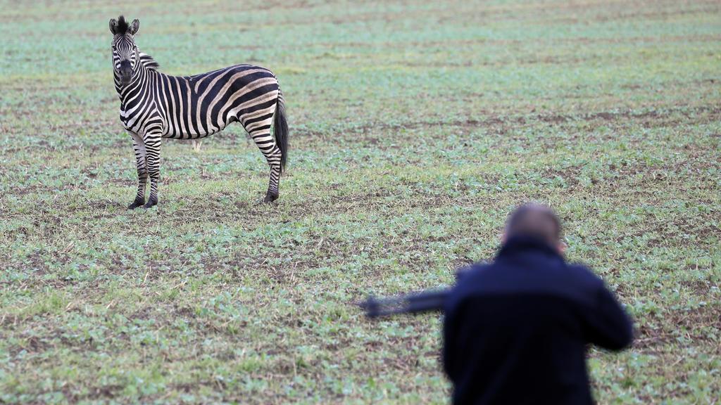 Zirkus-Zebras ausgebrochen