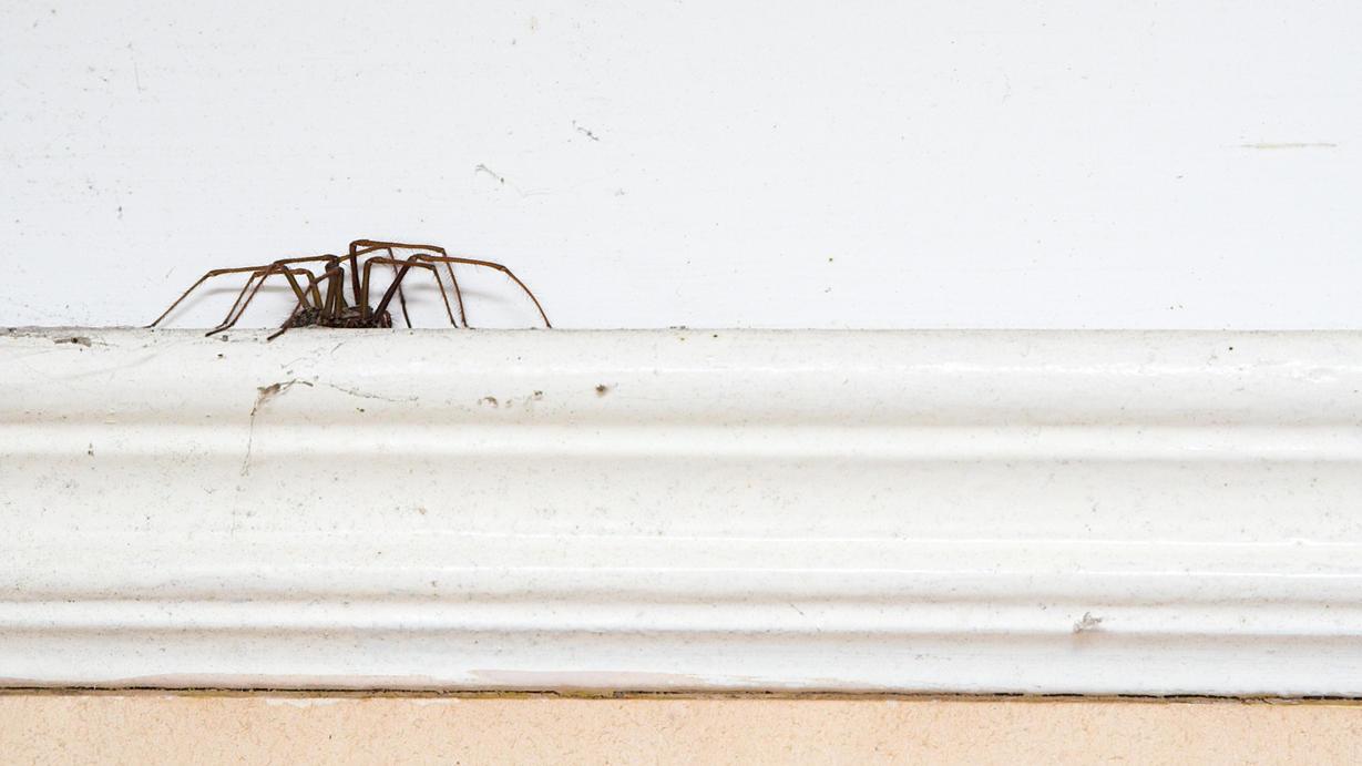 Leider kennt sie jeder - vor allem im Herbst machen es sich Spinnen gerne in unseren Wohnungen gemütlich.