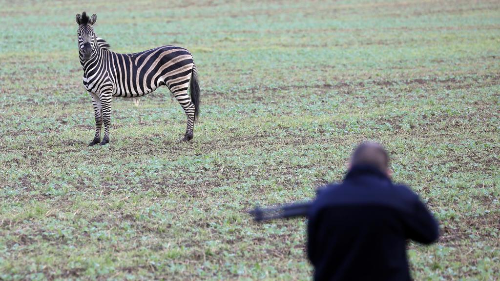 02.10.2019, Mecklenburg-Vorpommern, Thelkow: Ein ausgerissenes Zikus-Zebra steht auf einem Acker, während ein Mann mit einem Betäubungsgewehr versucht sich dem Tier zu nähern. Das Zebra war mit einem Artgenossen, der bereits wieder eingefangen werden