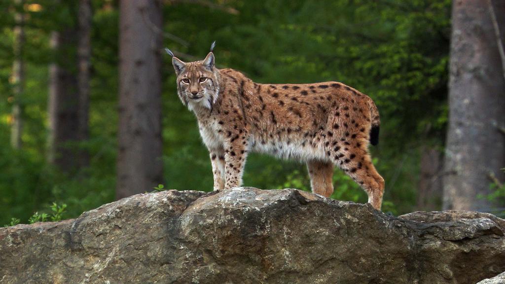Seit den 1980er Jahren wandern aus den nahen Vogesen immer wieder Eurasische Luchse (Lynx lynx) in den Pfälzerwald ein.