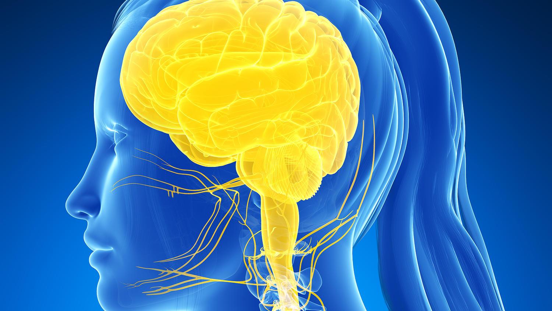 Das Nervensystem übermittelt Nachrichten. Dabei ist es sowohl mit dem Organismus als auch der Umwelt eng verknüpft: