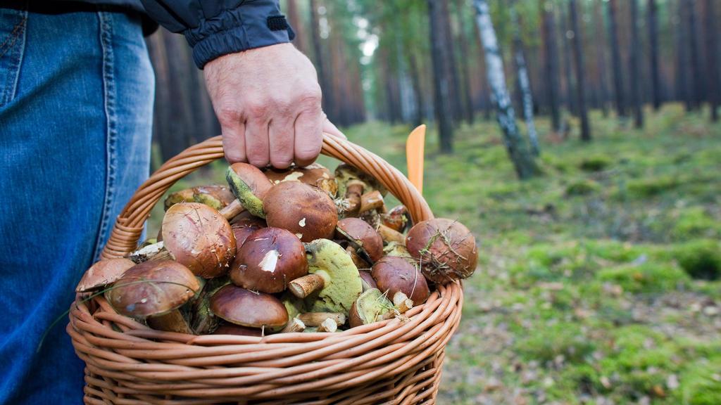 ARCHIV - Ein Pilzsammler trägt in einem Waldstück unweit von Briesen einen vollen Korb mit Maronen, aufgenommen am 04.10.2009. Foto: Patrick Pleul/dpa (zu lah«Wärme und Nässe lassen Pilze sprießen - Berater gefragt» vom 19.08.2014) +++(c) dpa - Bild