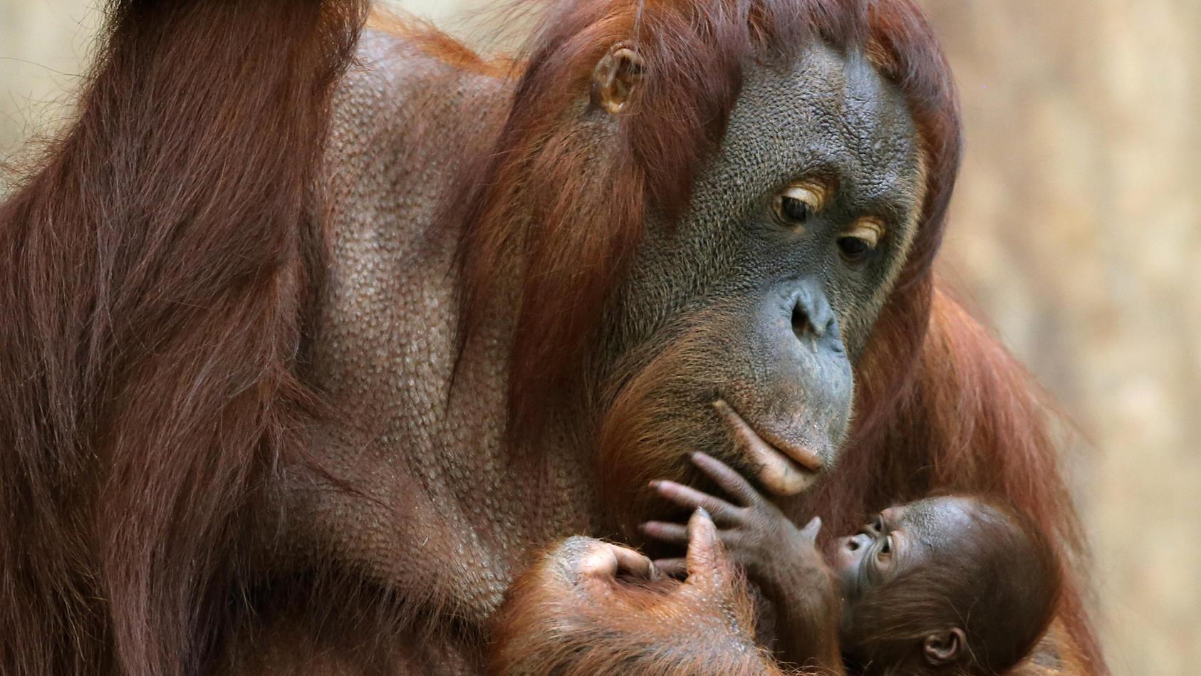 Krefelder Zoo - Orang-Utans bei Brand gestorben