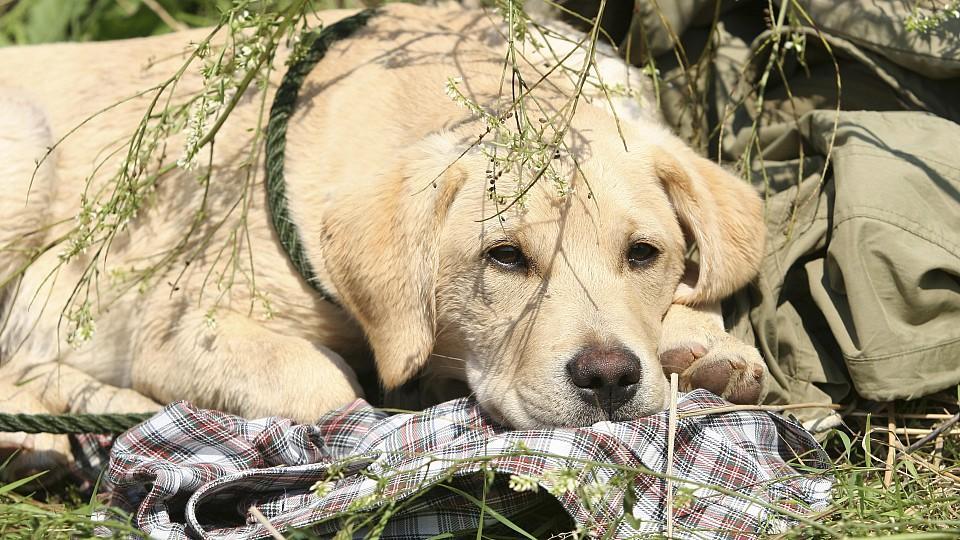 Blonder Labrador liegt in der Sonne