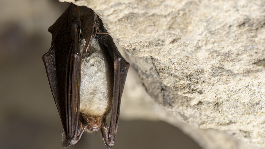Das Große Mausohr oder auch nur Mausohr (Myotis myotis) im Winterquartier / greater mouse-eared bat / Foto: Ralph Frank