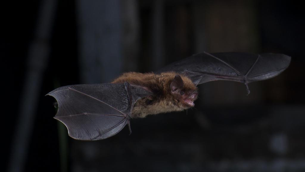 Little brown bat (Myotis lucifugus) in Salmonier, Newfoundland, Canada.