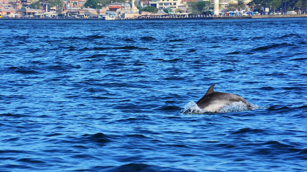 In Istanbul, werden am Bosporus wieder Delfine gesichtet