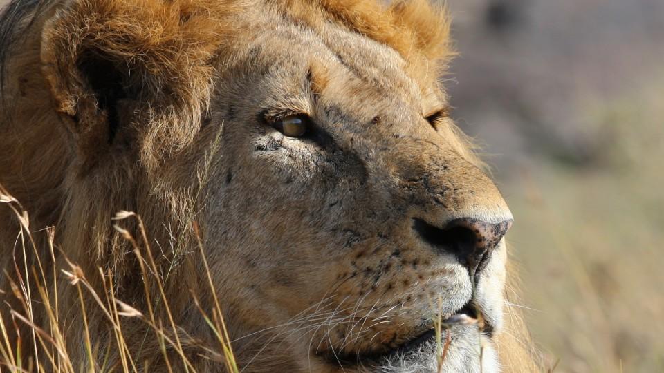 Oftmals Opfer von Jagd-Reisen: der Löwe