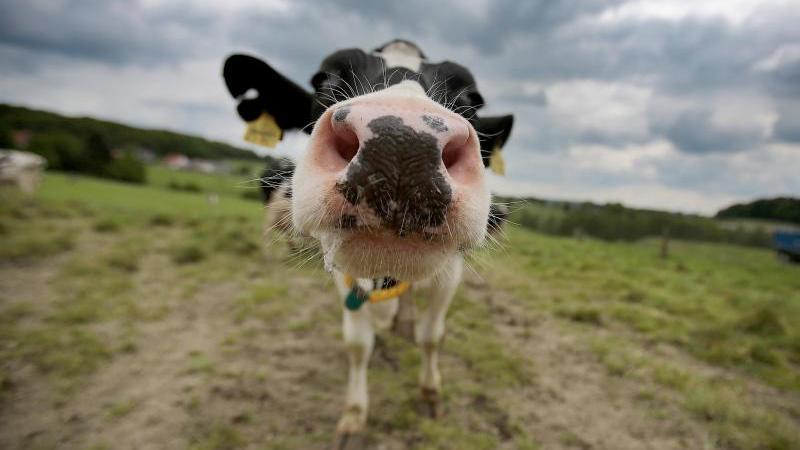 Eine Kuh auf einer Weide. Foto: Oliver Berg/dpa/Symbolbild