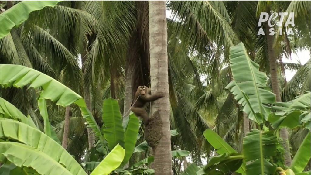 Affe sammelt Kokosnüsse