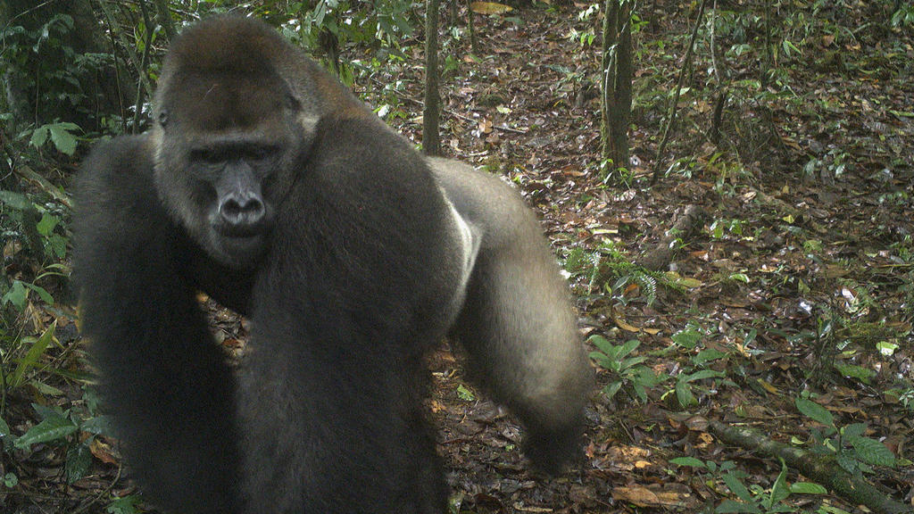This photo taken by a camera trap shows a Cross River gorilla in the Mbe Mountains of Nigeria on Monday, June 22, 2020. Conservationists have captured the first images of a group of rare Cross River gorillas with multiple babies in the Mbe mountains
