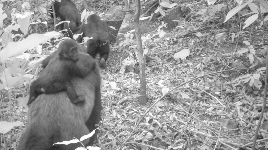 HANDOUT - 30.01.2020, Nigeria, ---: Dieses von einer Kamerafalle aufgenommene Foto zeigt eine Gruppe der seltenen Cross-River-Gorillas. Auf den Fotos sind auch mehrere Jungtiere zu sehen, ein Beweis dafür, dass sich die einst vom Aussterben bedrohte