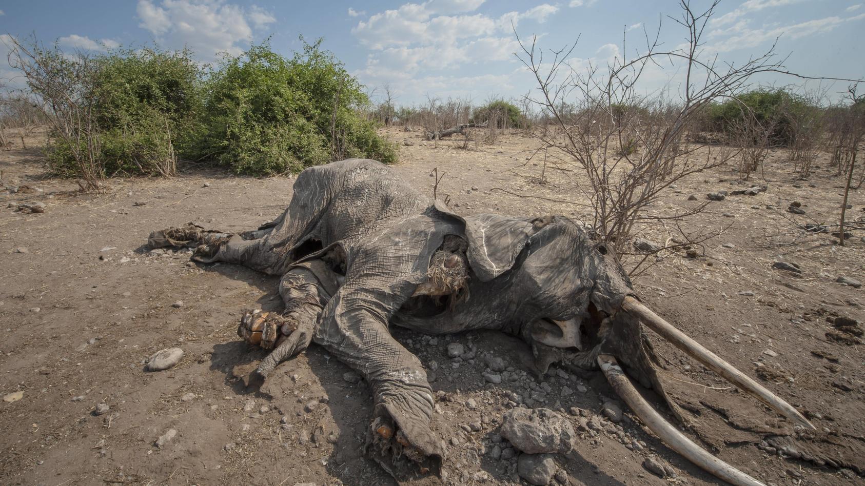Ein vermutlich an Milzbrand verendeter Afrikanischer Elefant (Loxodonta africana), Chobe Waterfront, Chobe-Nationalpark