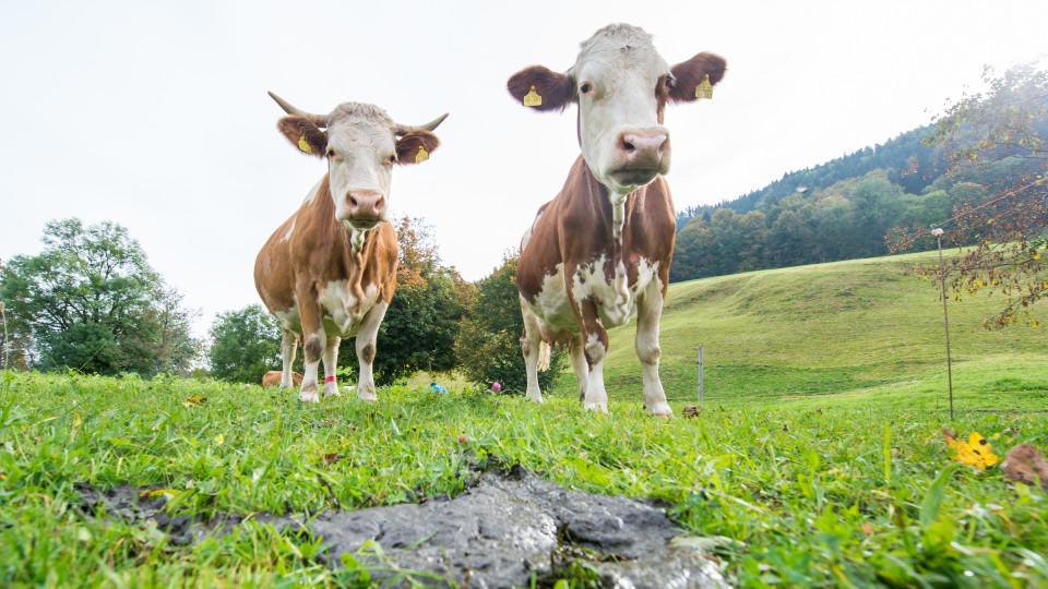 Zwei Kühe stehen am 08.10.2014 in Gmund am Tegernsee (Bayern) hinter einem Kuhfladen auf der Weide. Foto: Marc Müller/dpa  