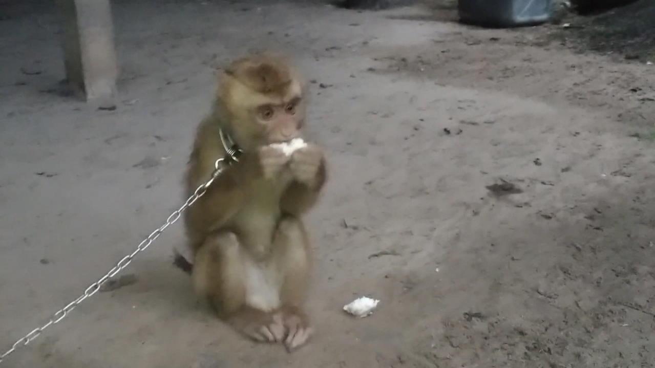 PETA berichtet: Während Affen Kokosnüsse von den Bäumen pflücken, seien sie an einer kurzen Leine angekettet