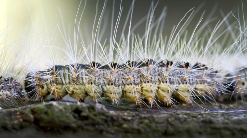 Die feinen Härchen der Raupe sind extrem gefährlich für Menschen und Tiere.