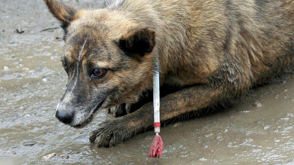 Ein von Tierfängern betäubter Hund liegt in Kronstadt (Brasov) in Rumänien auf einer Straße (Foto vom August 2009).