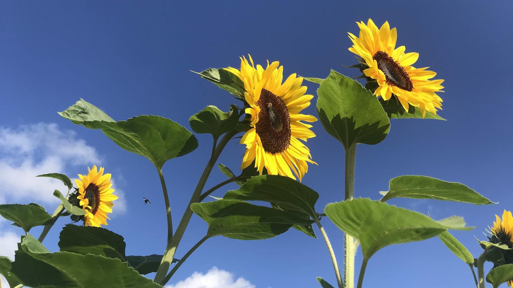 Sonnenblumen essen - wie Maiskolben?