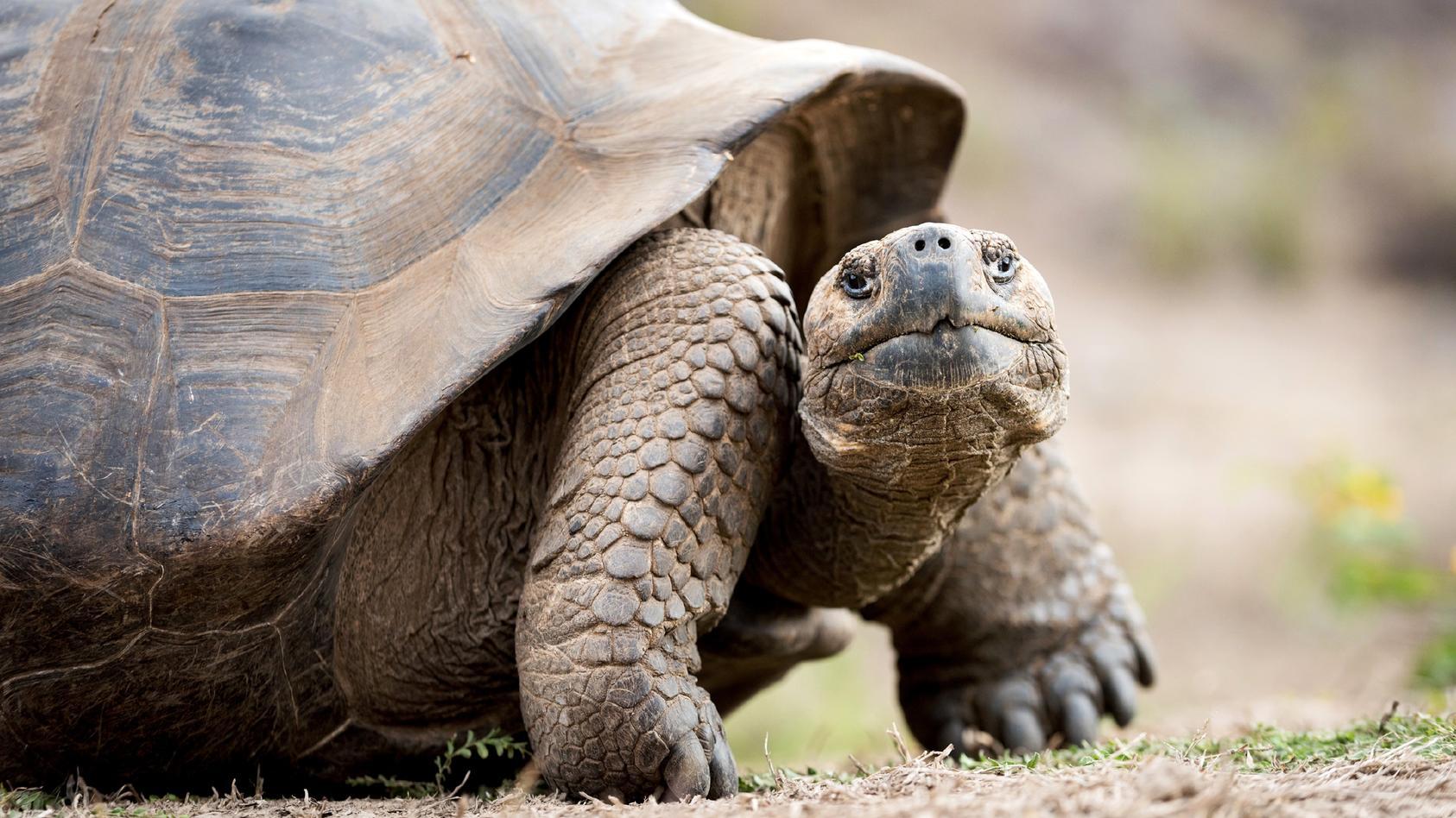 Ein Mann hatte am Samstag auf seiner Terrasse eine Riesenschildkröte entdeckt und umgehend die Polizei alarmiert.