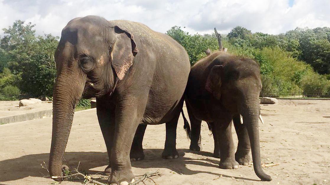 Elefanten: Berliner Asiaten ziehen nach Sachsen
