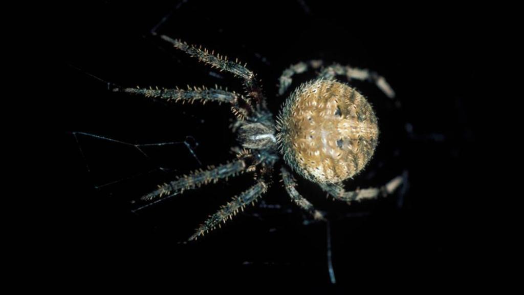 Diese Spinnenart gehört zu dem Netz.