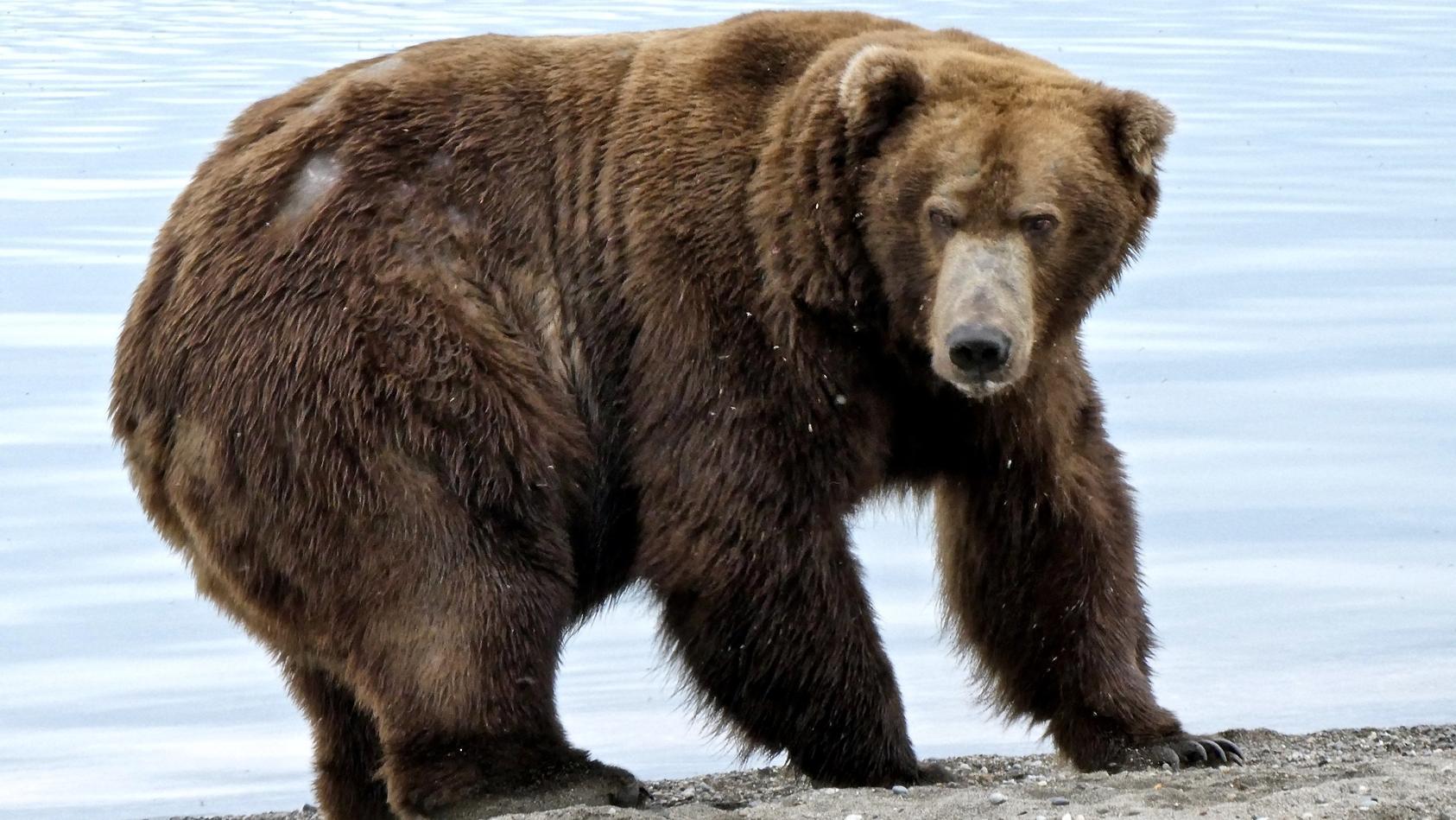 «Fat Bear»-Wahlen