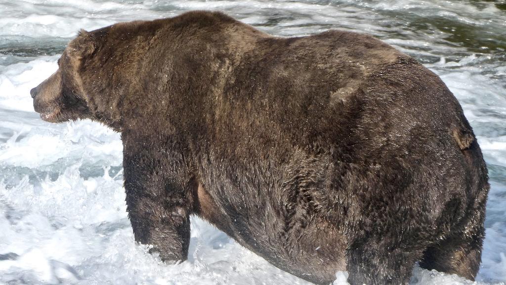 20.09.2020, USA, Anchorage: Der Braunbär «747», auch als Jumbo Jet bekannt, im Katmai-Nationalpark in Alaska. Der Gewinner des «Fat Bear»-Wettbewerbs in Alaska steht fest: Ein massiger Braunbär mit der Nummer 747 und dem Spitznamen «Jumbo Jet» setzte