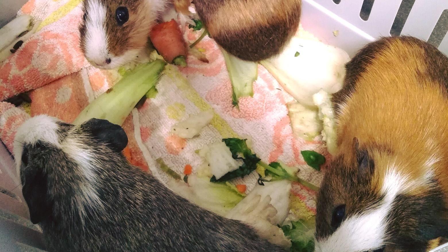 Der Tierschutz Halle e.V. hat die insgesamt zwölf Meerschweinchen zwischenzeitlich aufgenommen.