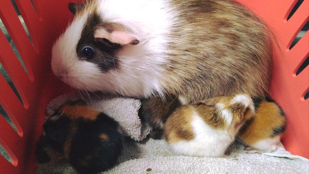 Meerschweinchenbabys Tierschutz Halle e.V.