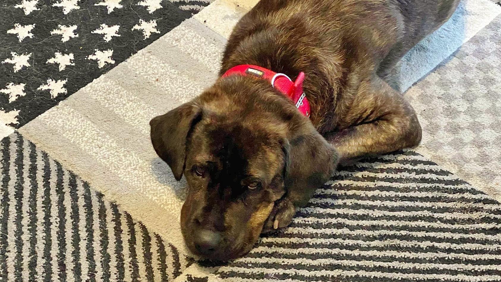 Bruno schläft gerne auf seiner Kuscheldecke. Wer den Rüden aufnehmen möchte: Ansprechpartner für Interessenten zusätzlich zum Hundehaus 1 (089 / 921 000 26) ist Herr Reichinger Tel.: 0177 / 7 555 444