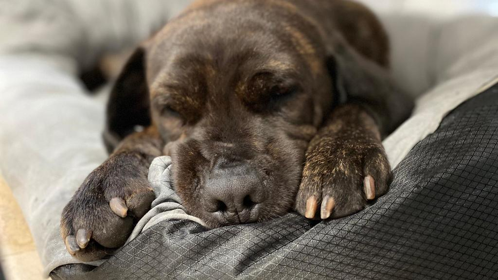 Rüde Bruno schläft