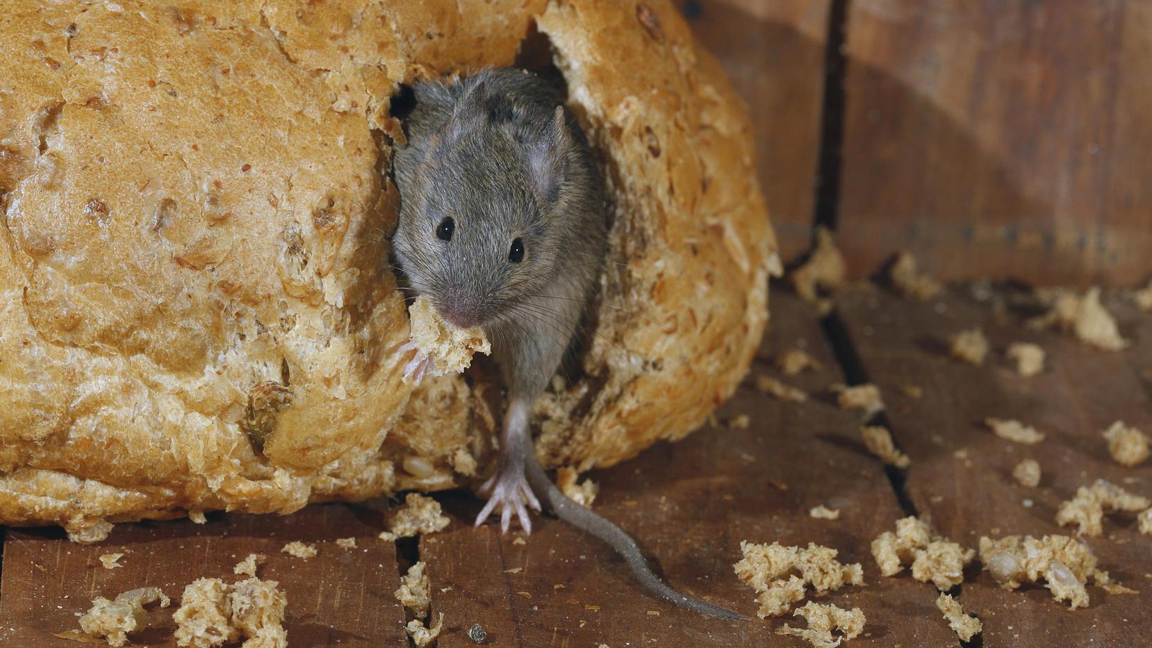 Mäuse fangen: So klappt es natürlich - ohne Gift oder