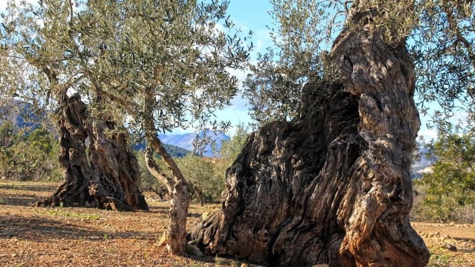 Alter Olivenhain. Baumpatenschaft auf Kreta.