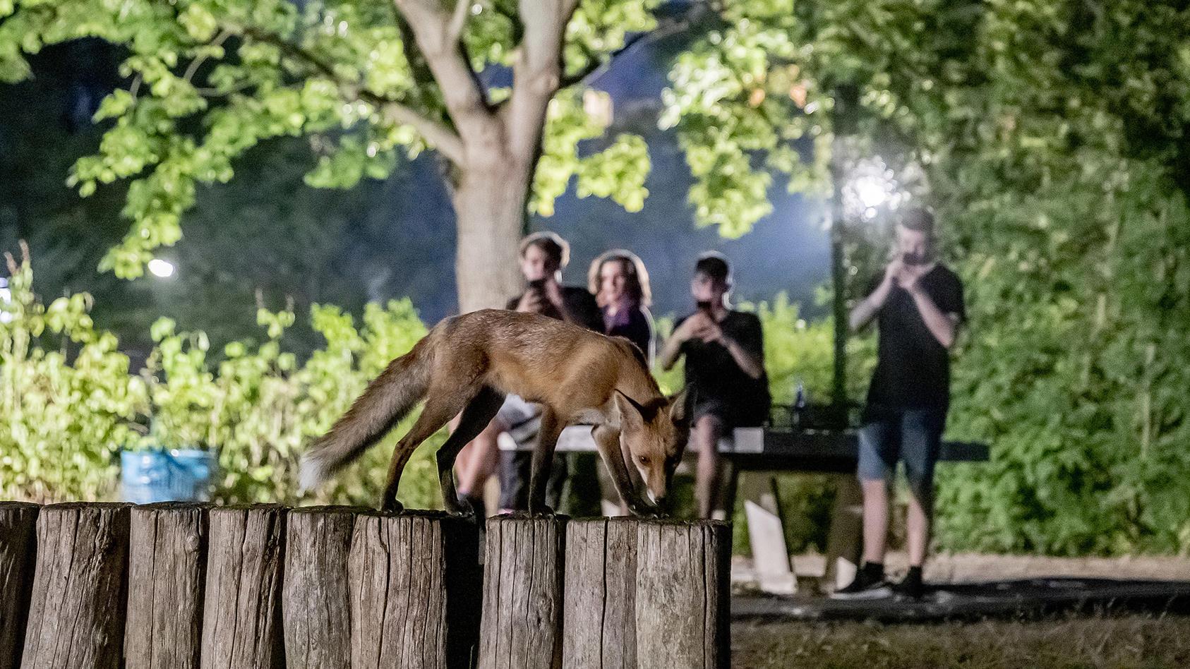 Füchse kommen uns - zumindest in Berlin - immer näher. Woran liegt das?
